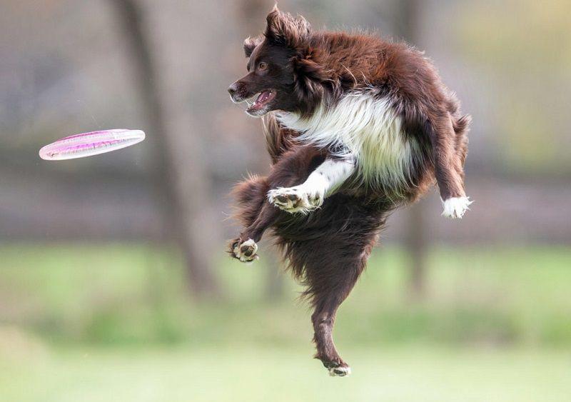 fotofair 2021, fotofair, actie workshop honden frisbee fotografie, hondenfotografie, workshop dogfrisbee, dogfrisbee, honden, leren, fotograferen